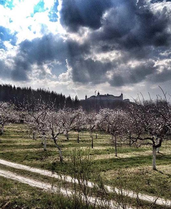 Weinabo-Abothek-April-Kistl-2019-Weinfruehling-Christian-Parzer-Marillenbluete-web