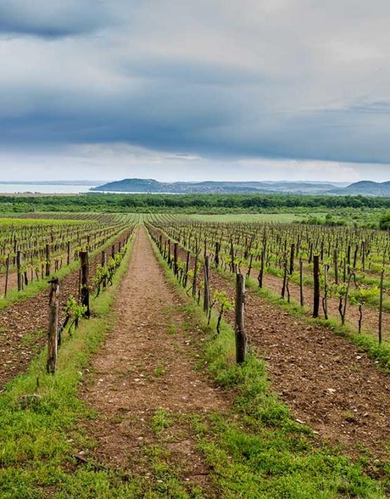 Weinabo-Abothek-Juni-2019-Ungarn-Balaton-Zelna-Weingarten-Balaton-Aussicht-web