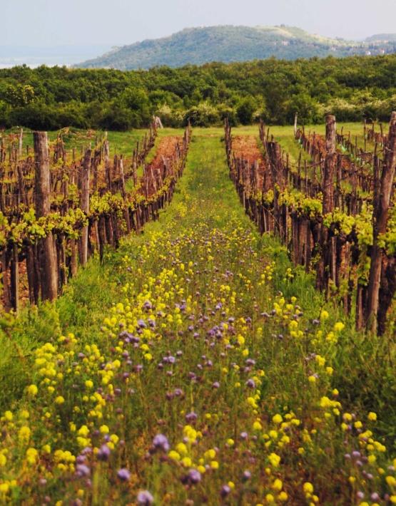 Weinabo-Abothek-Juni-2019-Ungarn-Balaton-Zelna-Weingarten-Blumen-web