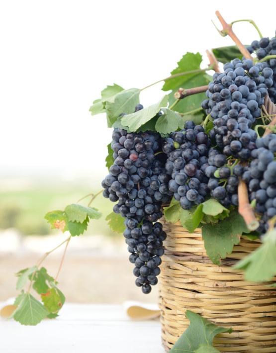 Weinabo-Abothek-September-2019-Sommerglueck-Apulien-Amastuola-Ondarosa-Aglianico-Weingarten_web