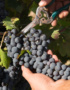 Weinabo-Abothek-September-2019-Sommerglueck-Apulien-Amastuola-Ondarosa-Aglianico-Weintrauben_web