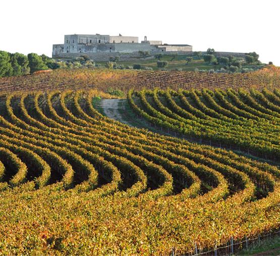 Weinabo-Abothek-September-2019-Sommerglueck-Apulien-Amastuola-Primitivo-Weingarten_web.jpg