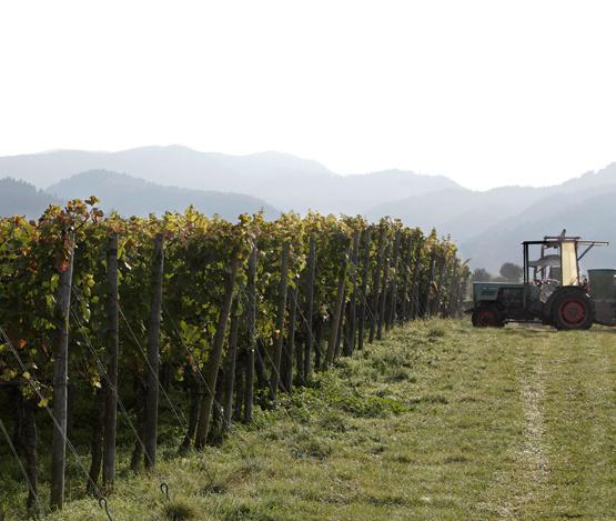 Weinabo-Abothek-Oktober-2019-Deutsche-Weinheit-Zotz-Chasslie-Weingarten-Herbst_web