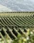 Weinabo-Abothek-Oktober-2019-Deutsche-Weinheit-Zotz-Gutedel-Weingarten_web
