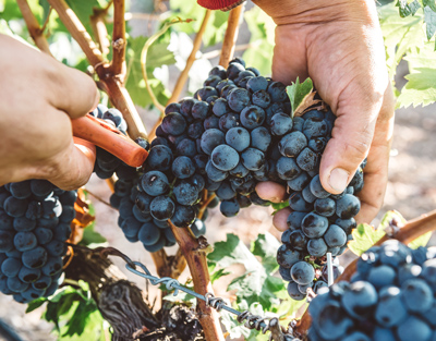 Weinabo-Abothek-Februar-Marques-de-Velilla-Ribera-del-Duero-Joven-2018-Tempranillo-Lese_web