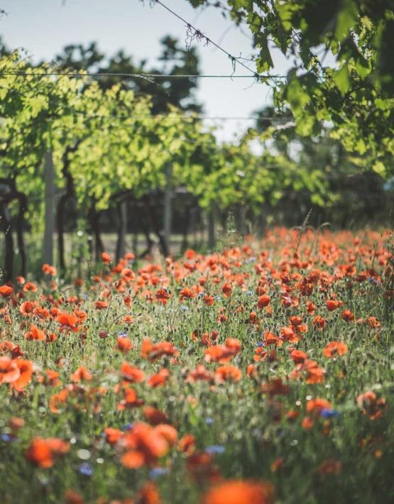 Weinabo-Abothek-Wein-Kistl-Juni-2020-Italia-si-frecce-tricolori-Verona-Italien-Fasoli-Gino-La-Corte-del-Pozzo-Bardolino-DOC-Chiaretto-2019-Bioweingarten-shop_web