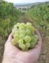 Weinabo-Abothek-Wein-Kistl-November-2020-Toscana-Italien-San-Donato-Vernaccia-San-Gimignnano-DOCG-2019-Vernaccia-shop_web